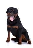 Собака Rottweiler Стоковое Изображение RF