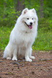 Собака Samoyed в древесине Стоковое Фото