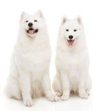 Собака Samoyed стоковые изображения rf