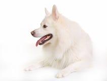Собака Samoyed Стоковое Изображение