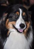 Собака Sennenhund стоковое изображение