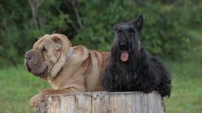 Собака Shar Pei и шотландский терьер сток-видео