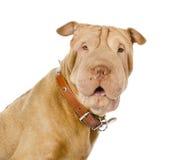 Собака Sharpei смотря камеру Стоковое фото RF