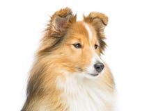 Собака sheltie Брайна Стоковое Изображение