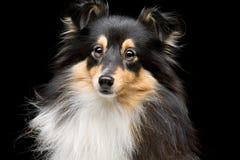 Собака Sheltie Стоковые Изображения