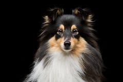 Собака Sheltie Стоковая Фотография RF