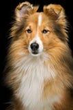 Собака Sheltie Стоковое Изображение