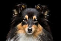 Собака Sheltie Стоковые Фотографии RF