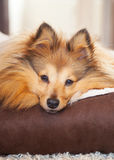 Собака Shelty лежит в корзине собаки Стоковое Изображение RF
