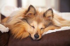 Собака Shelty спит в корзине собаки Стоковая Фотография RF