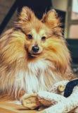 Собака Shelty с игрушкой собаки Стоковое Фото