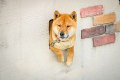 Собака Shiba японца сидит в загородке стоковые фото