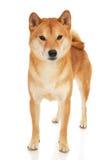 Собака Shiba Inu Стоковое Изображение