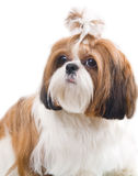 Собака Shih Tzu Стоковые Фотографии RF