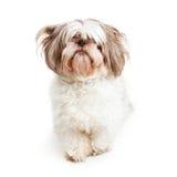 Собака Shih Tzu с длинными челками стоковое изображение rf