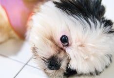 Собака Shih Tzu с милыми взглядами Стоковое Фото