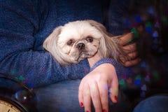 Собака Shih-tzu Стоковое фото RF