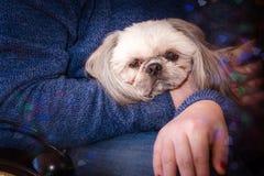 Собака Shih-tzu Стоковая Фотография RF