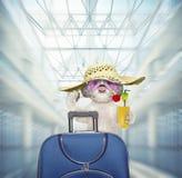 Собака Shitzu ждет в аэропорте с голубым чемоданом стоковая фотография rf