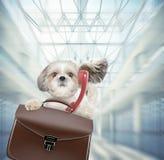 Собака Shitzu ждет в аэропорте с коричневыми чемоданом и телефоном стоковое фото rf