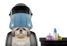 Собака Shitzu сидя под клобуком засыхания в салоне -- изолированный на белизне стоковые фото
