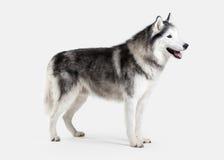 Собака Siberian лайка на белой предпосылке Стоковые Изображения RF