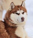 Собака Siberian лайки стоковые изображения rf