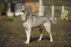 Собака Sibirian осиплая от стороны Стоковое Фото