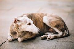 Собака Sighthound лежит на тротуаре улицы Стоковые Фото