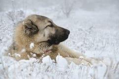 Собака Sivas Kangal лежа в снеге Стоковая Фотография