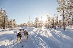 Собака sledding в Лапландии Стоковые Фото