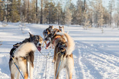 Собака sledding в Лапландии Стоковая Фотография