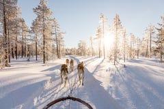 Собака sledding в Лапландии Стоковые Изображения