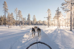 Собака sledding в Лапландии Стоковое Фото