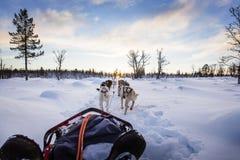 Собака sledding с лайками в красивом заходе солнца Стоковое Фото