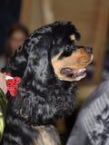 Собака Spaniel американского кокерспаниеля стоковое изображение rf