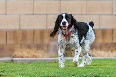 Собака Spaniel английского Спрингера играя в дворе Стоковые Фото