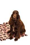 Собака Spaniel кокерспаниеля изолированная на белизне Стоковая Фотография RF