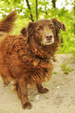 Собака spaniel кокерспаниеля Стоковые Фото
