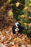 Собака Spaniel сидя под деревом marple на том основании вполне высушенных листьев Стоковые Фото
