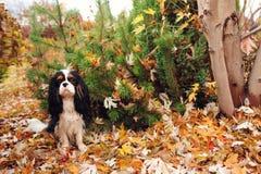 Собака Spaniel сидя под деревом marple на том основании вполне высушенных листьев Стоковые Изображения