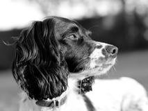 Собака spaniel Спрингера Стоковые Фото