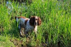 Собака Spaniel Стоковое Фото
