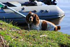 Собака Spaniel Стоковые Фотографии RF