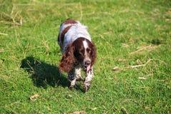 Собака Spaniel Стоковая Фотография RF