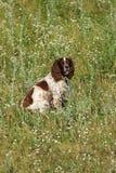 Собака Spaniel Стоковое Изображение