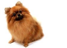 Собака Spitz   Стоковое Изображение