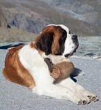 Собака St Bernard Стоковое Изображение RF