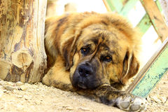 Собака St Bernard Стоковое Изображение