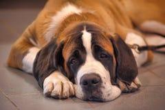 Собака St Bernard Стоковые Фотографии RF